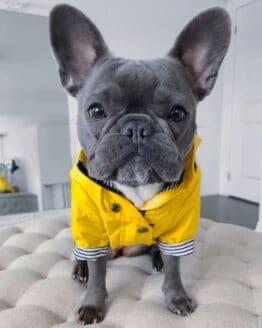 Bulldog francés con Chaqueta para lluvia rompevientos con forro amarilla para perros medianos y grandes Gordogs
