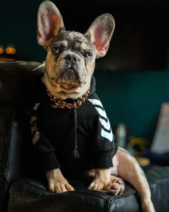 Bulldog frances con saco de capota Woof Gordogs ropa y accesorios para bulldogs y mascotas